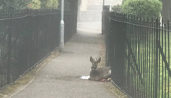 Deer stuck in park fence