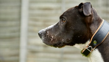 Dog used for fighting © RSPCA