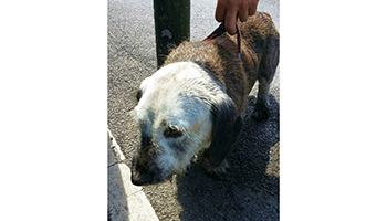 Dog just about survives being left in hot car © RSPCA