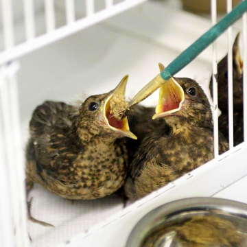 Two fledglings © RSPCA