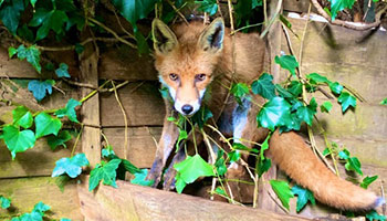 Fox caught in ivy