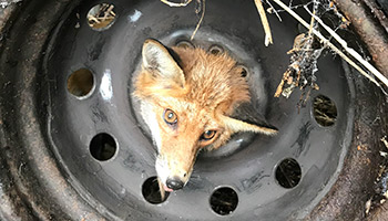 Fox caught in car wheel