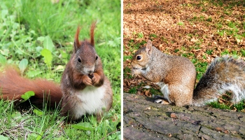 Difference between a red and grey squirrel