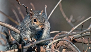 Grey squirrel on branches