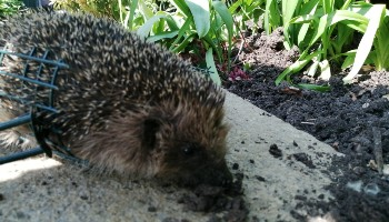 Hedgehog caught in wire netting
