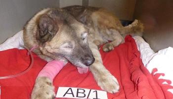 Neglected Akita type dog © RSPCA