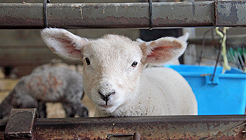 Little lamb at a farm © RSPCA
