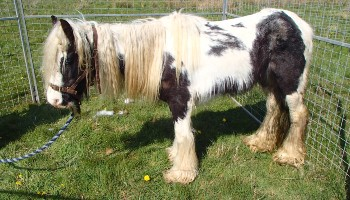 Nightingale the pony © RSPCA