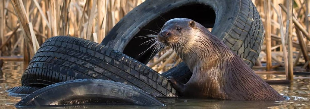 Otter with tire in water © RSPCA