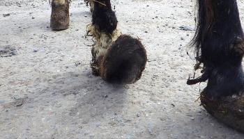 Horse with overgrown hoof © RSPCA