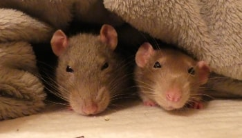Pet rats © RSPCA