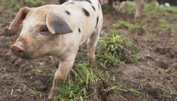 Piglet at a farm