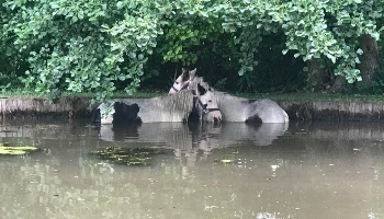 Ponies stuck in pond