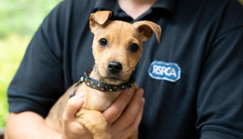 Puppy in RSPCA care © RSPCA