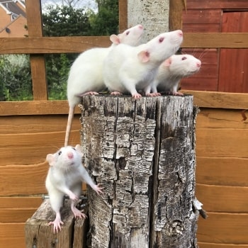 The (rat) girls © RSPCA