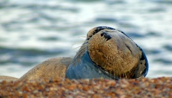 Seal with neck caught in litter © RSPCA