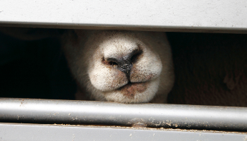 Sheep in transport truck © RSPCA