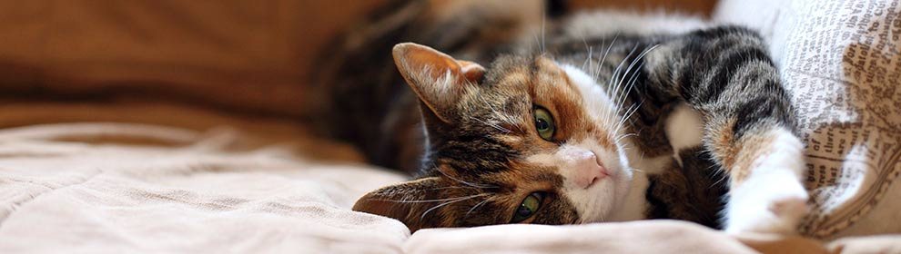Cat lying down on bed © RSPCA