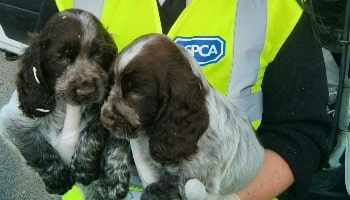 Imported puppy rescue © RSPCA