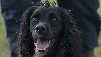 Spaniel outside in a field © RSPCA