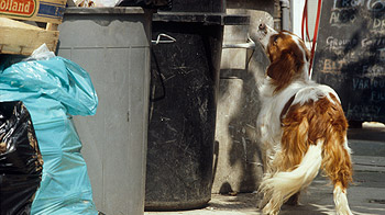 Stray dog scavenging from bins © RSPCA