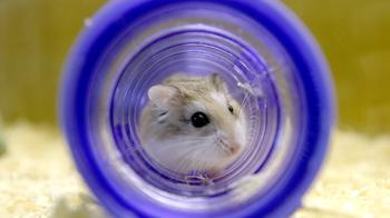 Roborovski hamster in blue tube © Andrew Forsyth/RSPCA Photolibrary