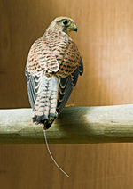 Kestrel perching with radio-tracking antenna in aviary © Andrew Forsyth/RSPCA photolibrary