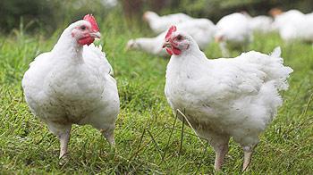 Free range broiler chickens © Andrew Forsyth/RSPCA