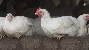 Free-range chickens perching © Andrew Forsyth/RSPCA Photolibrary