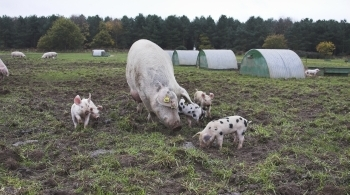 Sow and piglets on Freedom Food farm © Andrew Forsyth/RSPCA Photolibrary