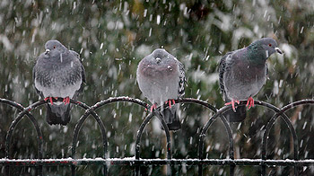 Pigeons on fence© Andrew Forsyth/RSPCA