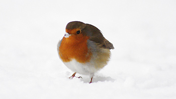 Robin standing in snow © Becky Murray / RSPCA Photolibrary