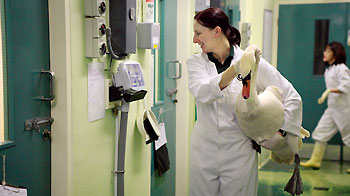 Wildlife Assistant Wendy Burrows weighing a swan in isolation unit © Andrew Forsyth/RSPCA photolibrary