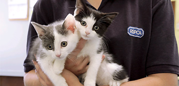 Animal Care Assistant holding two kittens at Newport Animal Centre © Joe Murphy/RSPCA Photolibrary