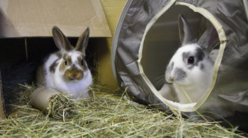 Rabbits in Hay © Andrew Forsyth/RSPCA Photolibrary