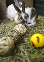 Rabbits with enrichment toys © Andrew Forsyth / RSPCA Photolibrary