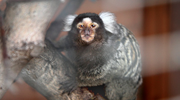 Marley the marmoset ©RSPCA