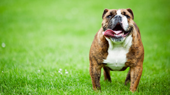 Bulldog standing in a field of green grass © istockphoto