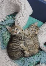 Two tabby kittens entwined in a bed © Andrew Forsyth / RSPCA Photolibrary
