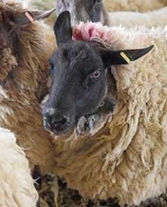 A group of sheep © RSPCA