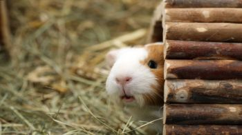 Environment - Guinea Pigs - Our pets
