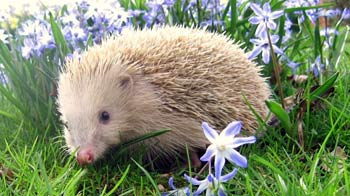 Blonde hedgehog © Debbie Hunter/RSPCA