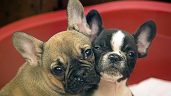 Puppies for sale in your area - don't be caught out | RSPCA