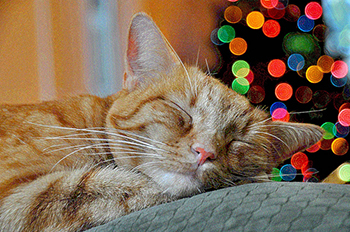 Ginger cat enjoying Christmas