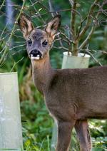 Roe deer in paddock before release © Joe Murphy/RSPCA photolibrary