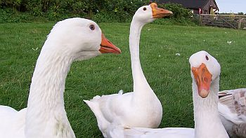 Geese grasing © Kevin Elliker/RSPCA Farm Animals Department