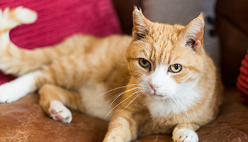 Ginger cat sitting on a sofa © RSPCA