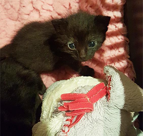 Close up of black kitten Jet © RSPCA