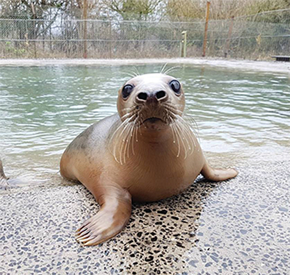 Miracle the seal pup © RSPCA
