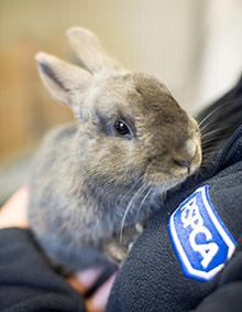 Rabbit in RSPCA care
